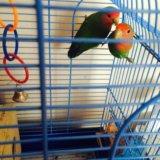 Попугаи неразлучники. Фото 1.