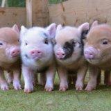 Мини-пиги, карликовые свинки декоративные. Фото 2. Новосибирск.