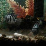 Рыбы аквариум цихлиды полосатые мальки. Фото 1.
