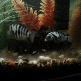 Рыбы аквариум цихлиды полосатые мальки. Фото 2.