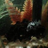Рыбы аквариум цихлиды полосатые мальки. Фото 3.
