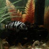 Рыбы аквариум цихлиды полосатые мальки. Фото 4.