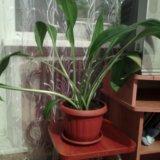 Комнатная лилия(эухарис). Фото 2.