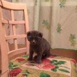 Котёнок вислоухий британец. Фото 1.