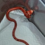 Змея маисовый полоз. Фото 1. Москва.