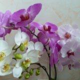 Орхидеи(оптом и в розницу). Фото 1.