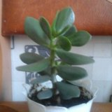Толстянка (денежное дерево). Фото 1.