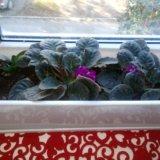 Цветок узамбарская фиалка. Фото 1.