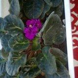 Цветок узамбарская фиалка. Фото 2.