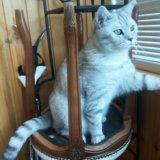 Шотландский кот скотиш страйт. Фото 1.
