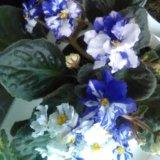 Цветы фиалки. Фото 1.