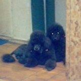 Черные непоседы карликового пуделя. Фото 3.