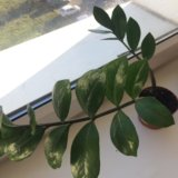 Замиокулькас комнатное растение. Фото 1.