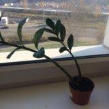 Замиокулькас комнатное растение. Фото 2.