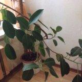 Отдам бесплатно растение. Фото 2.