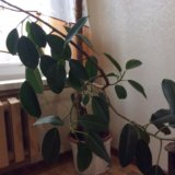 Отдам бесплатно растение. Фото 1.