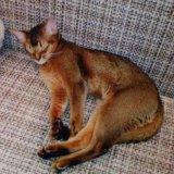 Абиссинские котята. Фото 1.