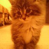 Котёнок сибирский 2 месяца. Фото 1.