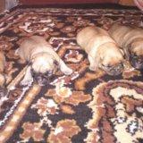 Щенки пти брабансона. Фото 2.