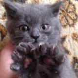 Продам британскую кошечку. Фото 4.