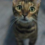 Продам или обмен бенгальский кот  ,документы,паспо. Фото 1.