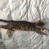 Продам или обмен бенгальский кот  ,документы,паспо. Фото 3.