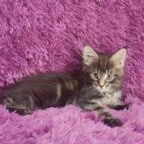 Котята мейн кун. Фото 2.