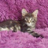 Котята мейн кун. Фото 3.