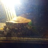 Красноухая черепаха + аквариум. Фото 3.