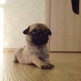 Продам щенка мопса, девочка бежевая. Фото 3.