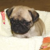 Продам щенка мопса, девочка бежевая. Фото 1.