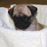 Продам щенка мопса, девочка бежевая. Фото 2.