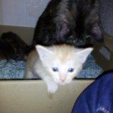 Мей-кун кошка 1,5 мес. Фото 1.
