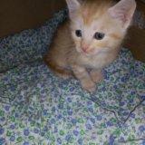 Мей-кун кошка 1,5 мес. Фото 2.