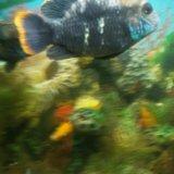 Акары бирюзовые. Фото 2.