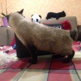 Породистая кошка тайский бобтейл. Фото 2.