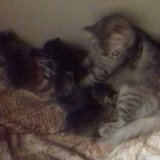 Шотландские котята. Фото 3. Самара.
