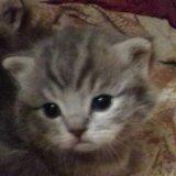 Шотландские котята. Фото 4. Самара.