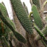 Кактус (опунция беловолосая). Фото 2.