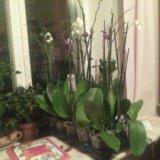 Орхидеи. Фото 1. Москва.