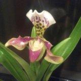 Орхидеи. Фото 2. Москва.