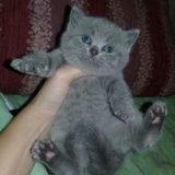 Британские котята. Фото 4.