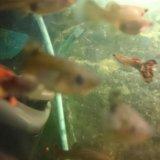 Рыбки гуппи. Фото 1.