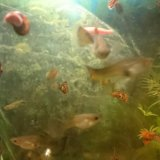 Рыбки гуппи. Фото 2.