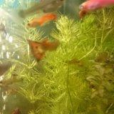 Рыбки гуппи. Фото 3.
