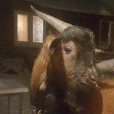 Камерунский козел. Фото 3.