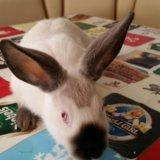 Кролики калифорния. Фото 1. Ставрополь.