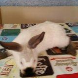 Кролики калифорния. Фото 2. Ставрополь.