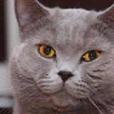 Британские котята. Фото 3. Пушкино.
