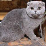 Британские котята. Фото 2. Пушкино.